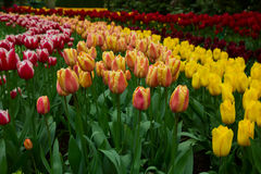 Holland tulips and daffodils field Stock Photo