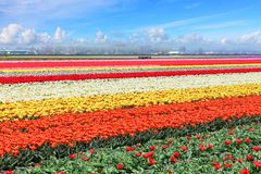 Holland tulips field. Spring magic of blossom. Dutch flowers. Colorful flowering landscape. Netherlands, Lisse - Tulip-growing region stock photo