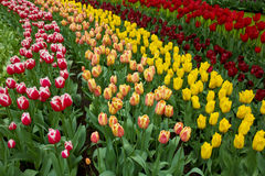 Holland tulips fields. Dutch tulips fields in Keukenhof garden, Holland Royalty Free Stock Photo