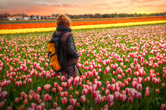Holland tulips Royalty Free Stock Image