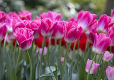 Holland tulips Royalty Free Stock Photo