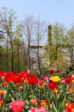 Holland windmills and field of tulips Stock Photos