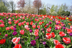 Holland windmills and field of tulips Stock Photography