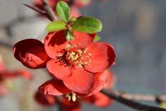 Hollandia blomningkvitten royaltyfri bild