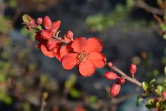 Hollandia Flowering Quince royalty free stock photos