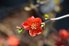 Hollandia Flowering Quince royalty free stock photography