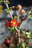 Hollandia Flowering Quince royalty free stock image
