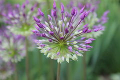 Hollandicum dell'allium Immagine Stock