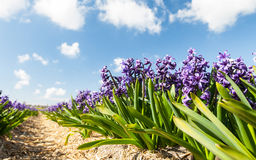 Hollandse Hyacinthus. Row of the blooming hyacinth against blue sky royalty free stock photography