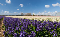 Hollandse Hyacinthus Stock Images