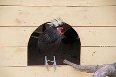 Hollandse kuifhoen的品种是鸡一个罕见的装饰品种禽畜围场 库存图片