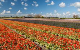 Hollandse Tulips. Blooming tulips against blue sky royalty free stock photos