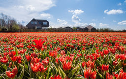 Hollandse Tulips. Blooming tulips in farmer's field and house behind royalty free stock photos