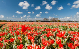 Hollandse Tulips. Blooming tulips against blue sky royalty free stock photo