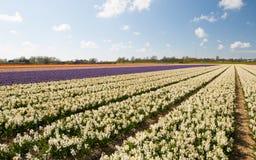 hollandsehyacinthuswhite Arkivfoton