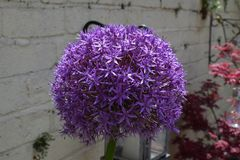 Hollanicum d'allium Photos stock