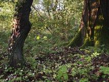 Hollington trä Royaltyfri Bild