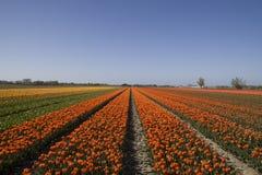 Holländische Blumenfelder Lizenzfreies Stockfoto