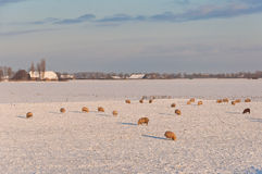 Holländische Winterlandschaft mit Schnee und Schafen Stockfoto