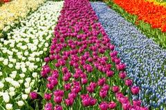 Holländskt kulafält med färgrika tulpan Arkivbild