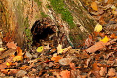 Hollow in autumn forest Royalty Free Stock Photo