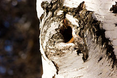 Hollow in the birch trunk Stock Photography