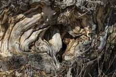 Hollow of a Gnarled Tree. Image of gnarled, and burled hollow of an old and rough tree. Taken in early Spring near Lake Pueblo, Colorado. Was taken in by the Stock Image