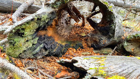 Hollow log. Burnt and hollow pine tree log with moss growing on it Royalty Free Stock Photo