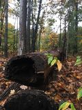 Hollow log. Fall time in the forest Royalty Free Stock Image