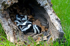 Hollow log filled with baby skunks. Royalty Free Stock Photos