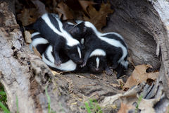 Hollow log filled with baby skunks. Stock Images
