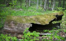Hollow old tree covered with moss in the forest. Selective focus Royalty Free Stock Image
