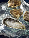 Hollow oysters from Brittany Royalty Free Stock Photo