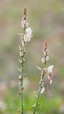 Hollow-stemmed asphodel, Asphodelus fistulosus Stock Photography