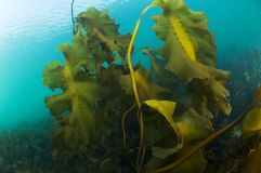 Hollow-Stemmed kelp underwater in the St. Lawrence River in Canada royalty free stock image
