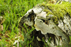 Hollow stump with moss Stock Image