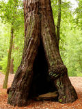 Hollow Tree Stock Photo