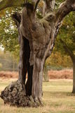 Hollow Tree. Autumn scene of an old hollow tree Stock Images