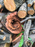 Hollow tree caused by stem borer worm. Infiltration royalty free stock image