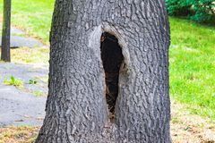A hollow in a tree, a diseased tree, a hole in the bark. A hollow in a tree, a diseased tree, a hole in the stock photos