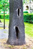 A hollow in a tree, a diseased tree, a hole in the bark. A hollow in a tree, a diseased tree, a hole in the royalty free stock photos