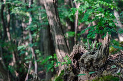 Hollow of a tree. In the heart of the forest Royalty Free Stock Image