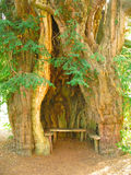 Hollow Tree. A hollowed out yew tree in Much Marcle, Herefordshire, England Royalty Free Stock Images