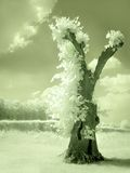 Hollow tree in infrared Stock Image