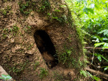 Hollow tree in a mountain, covered with parasite. Plant tropical Stock Photos