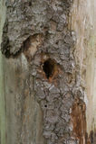 Hollow in a tree Royalty Free Stock Images