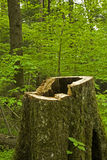 Hollow Tree Stump, Great Smoky Mtns Stock Photography