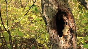 Hollow in a tree. Tree hollow in the wood stock video