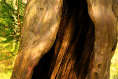 Hollow Tree Trunk Stock Images