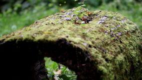Hollow tree trunk on the ground. Where you can see moss growing on top of the tree trunk stock footage